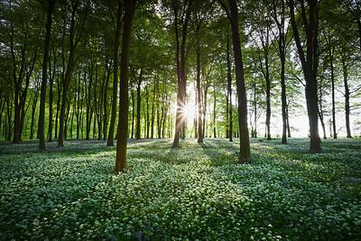 Wildhams Wood Wild Garlic in Spring