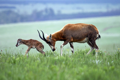 Blesbok - coaxing her young to walk with a head nudge - just minutes after giving birth.