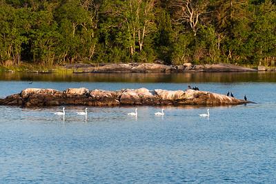 Swans at dawn, Baltic archipelago, Sweden