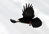 Alpine Chough (Pyrrhocorax graculus) - they measure about 15 in. (38 cm) in length, with a 5.5 in. (14 cm) tail, and a 33 in. (85 cm) wingspan