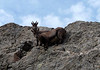 Alpine Ibex (Capra ibex) - a species of high altitude, sure-footed, wild goat - here a female and juvenile