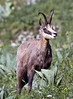 Alpine Chamois (Rupicapra rupicapra) - a goat-antelope, both sexes grow horns - they measure about  4 ft. (1.2 m) body length, 2.8 ft. (.9 m) shoulder height, and weighs about 135 lb. (61 kg)