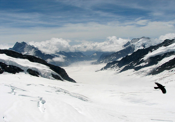 Southeast view from the Jungfraujoch - down the Jungfraufirn (glacier) - to the Konkordiaplatz (Place of Concordia), the 5 glacier confluence - with the  the Ewigschneefäld Glacier and Grüneggfirn Glacier (L, with the peaks of Fiescher Gabelhorn and Gross Wannenhorn beyone) - the Aletschfirn, Glacier (R, with the long peaked ridge extending from the Dreieckhorn to the Olmenhorn) - and from the Concordia southward is the Aletschgletscher (Aletsch Glacier), the largest in the Alps, with a length of about 14 mi. (23 km) and covers more than 46 sq. mi. (120 sq. km) - as an Alpine Chough soars across - canton of Valais