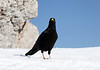 Alpine Chough (Pyrrhocorax graculus) - also called the Yellow-billed Chough - they usually nests in cavities and fissures on inaccessible rock faces, and forages in open habitats such as alpine meadows and scree slopes to the tree line or lower,