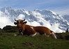 Guernsey Milk Cow - across the cumulus clouds, above the Lauterbrunnen Valley - to the western end of the Ebnefluh - the pyramid shaped peak of the Mittaghorn - canton of Bern