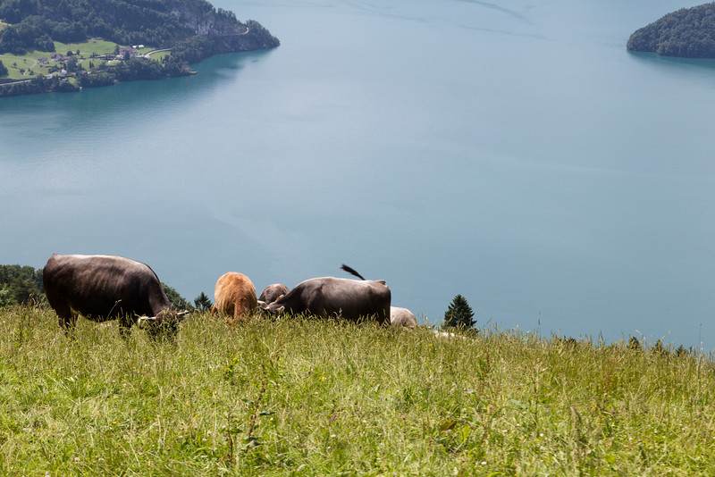 Cows grazing high up on a steep hillside over Lake Lucerne, Switzerland