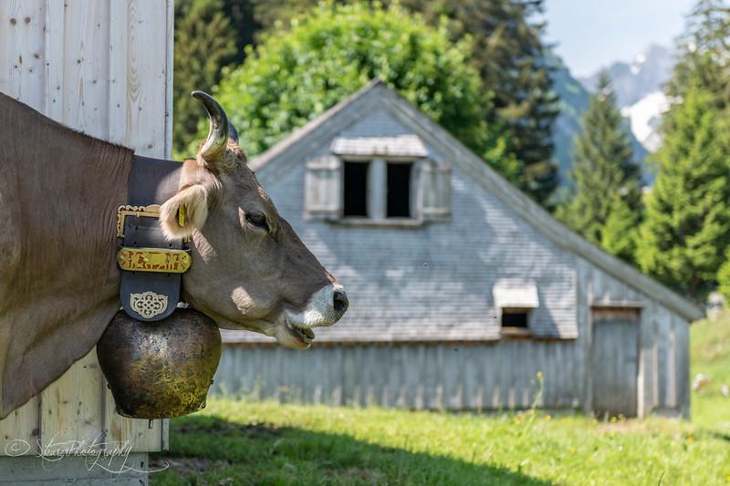 Appenzeller Kuh, Seealp, Switzerland 2018