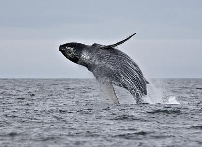 20070716-whale breach tahsis-