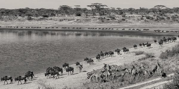 The Great Migration, Serengeti NP, Tanzania