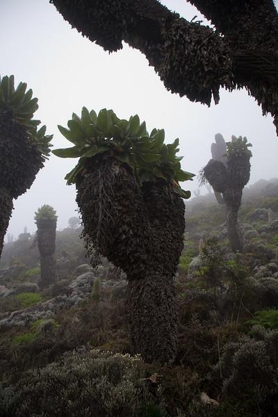 Giant Lobelia - Mount Kilimanjaro,Tanzania