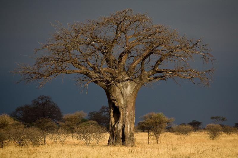 Baobab tree - Tarangire, Tanzania
