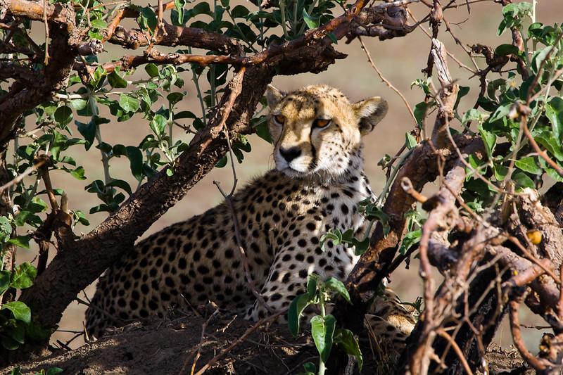 Cheetah - Serengeti, Tanzania