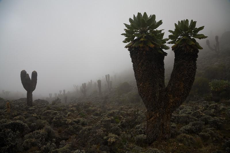 Giant Lobelia - Mount Kilimanjaro, Tanzania
