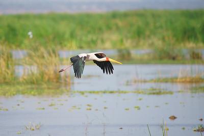 Yellow billed stork, Lake Manyara, Tanzania