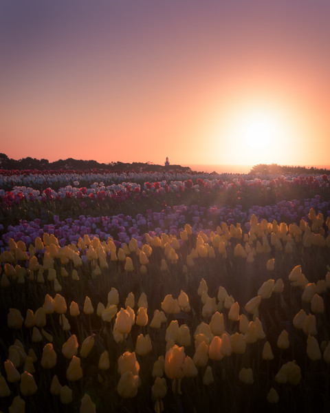 Table Cape Tulips - 2