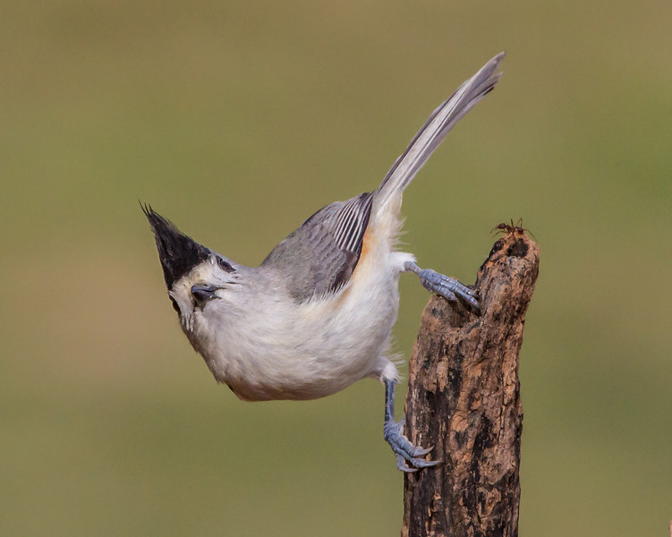 Black-crested Titmouse (and ant)