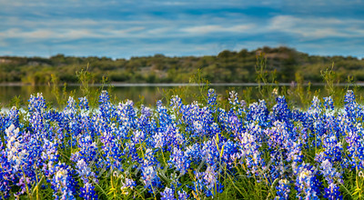 Bluebonnets on the Lake