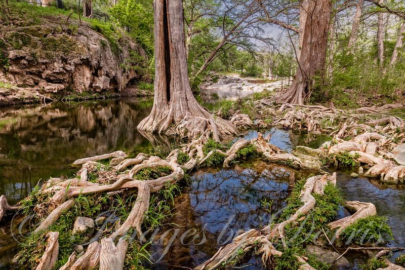 cypress trees at Krause Springs in Spicewood