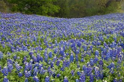 Large Field of Bluebonnets