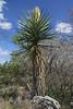 Very early spring season florescence of the Spanish Dagger yucca - Edwards Plateau ecoregion - Burnet county.