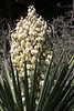 Mid-afternoon sunlight upon the bloom of the Spanish Dagger yucca - extended above its stiff and pointed leafs (blades).