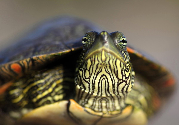 Into the eyes of a Texas Map Turtle.