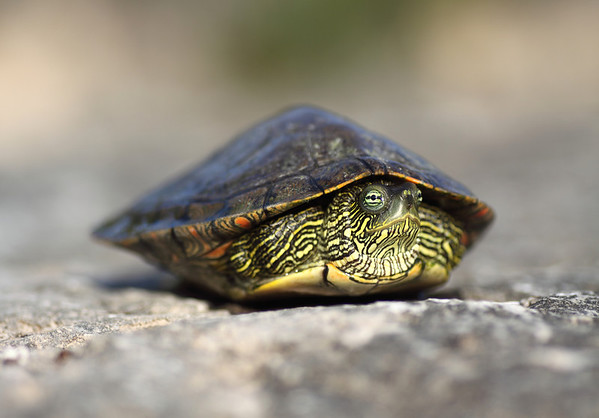 Texas Map Turtle - with its head beginning to extend out from between its carapace and plastron (shell).