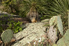 Fox Squirrel - among the Llano Plateau ecoregion - displaying here the Rain or Prairie Lily - Texas Pricklypear Cactus - Soaptree Yucca - lichen encrusted, pink volcanic granite - limb and leads of a Texas or Black Persimmon tree.