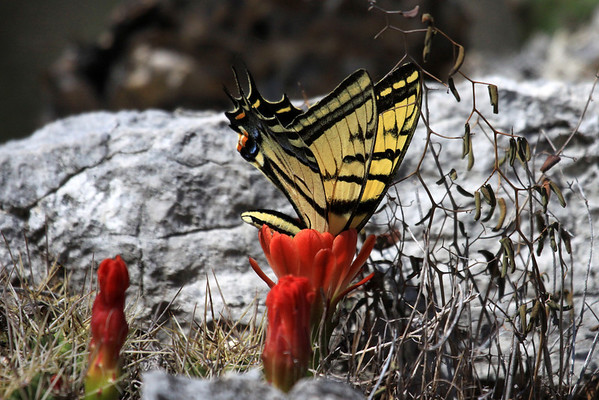 Two-tailed Swallowtail - feeding on a Claret Cup Cactus bloom.