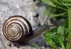 Milk Snail (Otala lactea) - also called the Spanish Snail - a terrestrial pulmonate (air-breathing) gastropod (univalve) mollusk.