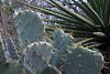 Texas Prickly Pear Cactus (Opuntia engelmannii var. lindheimeri) - displaying its multiple spines protruding from each areole upon the nopales - with beyond the long leafs of a Spanish Dagger yucca - Burnet county.
