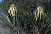Spanish Dagger yucca florescence amongst its elongated, stiff, and sharp-pointed leaf - Burnet county.