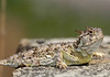 Texas Horned Lizard (Phrynosoma cornutum) - this species is the largest bodied of the 14 species of Horned Lizards in the USA, they grow to about 4 in. (10 cm) long, nose to vent - their main diet consists mainly of red harvester ants.