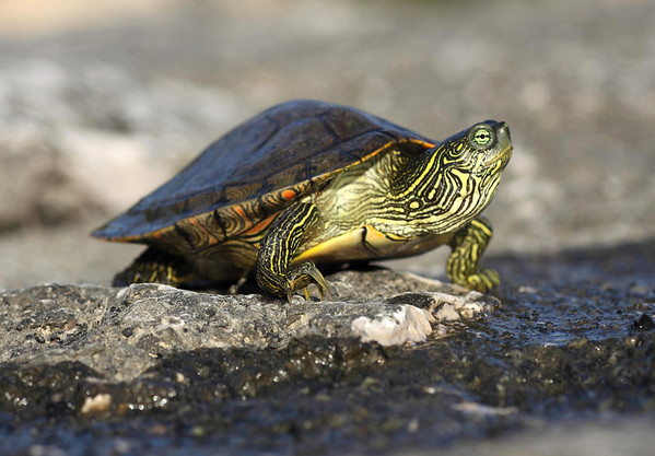 Texas Map Turtle (Graptemys versa) - distinguished from the 5 species of map turtles in Texas, by the horizontal or J-shaped mark behind the eye (yellow colored) - and the round pupil and bright iris with a partial bar across the pupil - this species is endemic to the Edwards Plateau region of Central Texas - they make their home in the streams, creeks, and tributaries of the Colorado River Basin - this specimen along Flat Rock Creek - Burnet county.