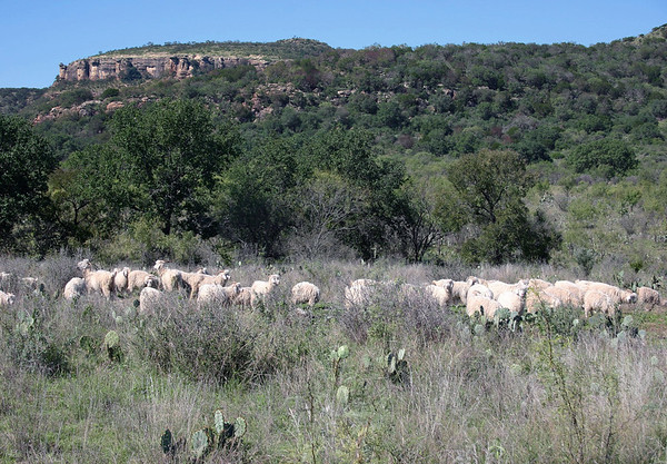 Angora Goats - native to Turkey, and noted for their high quality mohair fleece - these specimens feeding along the southwestern slopes of Packsaddle Mountain - eastern Llano county.