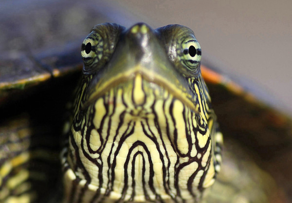 The distinctive eyes displayed by its round pupil and bright iris, with a partial bar across the pupil - Texas Map Turtle.