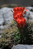 Florescence of the Claret Cup Cactus.