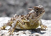 Texas Horned Lizard (Phrynosoma cornutum) - the state reptile of Texas.