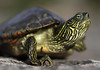 Texas Map Turtle - male specimens grow longer nails on forelimbs than the females.
