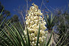 Cluster of blooms protruding from atop the stiff and pointed leafs of the Spanish Dagger yucca.