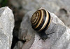 Chocolate-band Snail - grow to about 1 in. (3 cm) in diameter - and the shell develops 5-6 whorls.