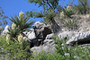Very early spring season bloom of the Spanish Dagger (Yucca treculeana) - displaying its white bloom clusters protruding from above its long, stiff, and pointed leaves - here along the sedimentary limestone rock ledge above Flat Rock Creek - Burnet county.
