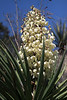 Spanish Dagger yucca - displaying its sunlit cluster blooms protruding from atop the elongated, stiff, and sharp-pointed leafs.