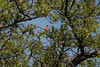 Northern Cardinal atop a blooming Live Oak - early spring season in Hill Country.