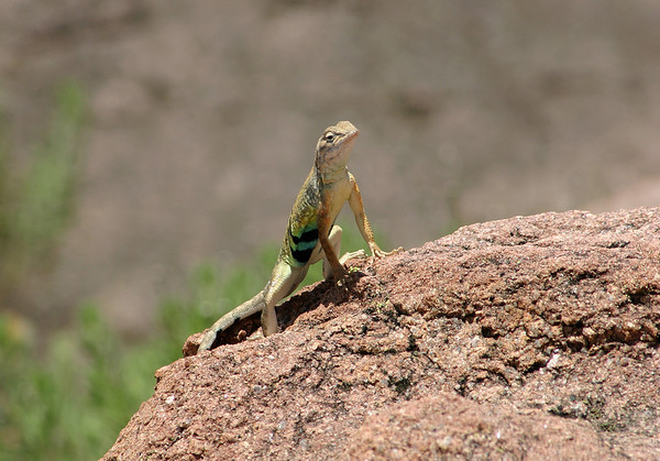 Greater Earless Lizard (Cophosaurus texanus) - a male specimen during the very late spring season, under that mid-day sunshine, here upon the intrusive  igneous granite rock.