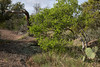 Prickly pear cacti - lichen encrusted pink granite - Texas persimmon - dead live oak trunk.