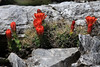 Claret Cup cacti blooms amongst its spines - adjacent the sedimentary limestone rock - very early spring season along the slope of Flat Rock Creek.