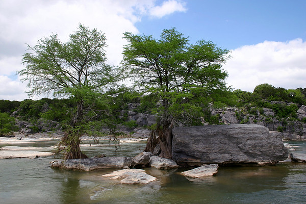 Bald cypress (Taxodium distichum) - thriving amongst the sedimentary limestone rock in the Pedernales River - here upriver of the Pedernales Falls, during the early spring season - eastern Blanco county.
