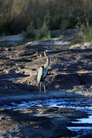 Great Blue Heron - this species diet consists of fish, amphibians, reptiles, small mammals, insects, and other birds.