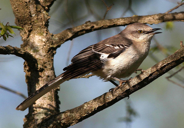 Northern Mockingbird (Mimus polyglottos) - grows to about 10 in. (25 cm) long, head to tail - they display a distinctive white patch on each wing in flight.